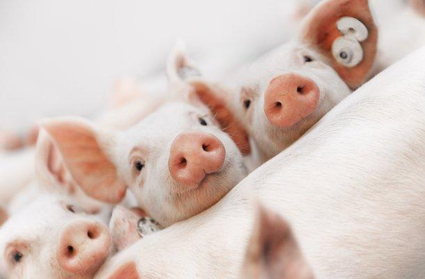 Hypor piglets