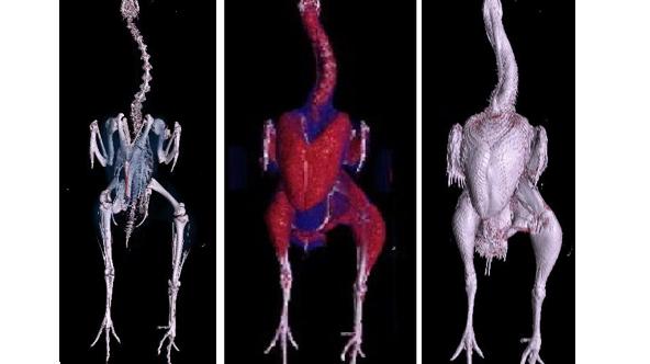 bone muscle body scan turkey 34 week