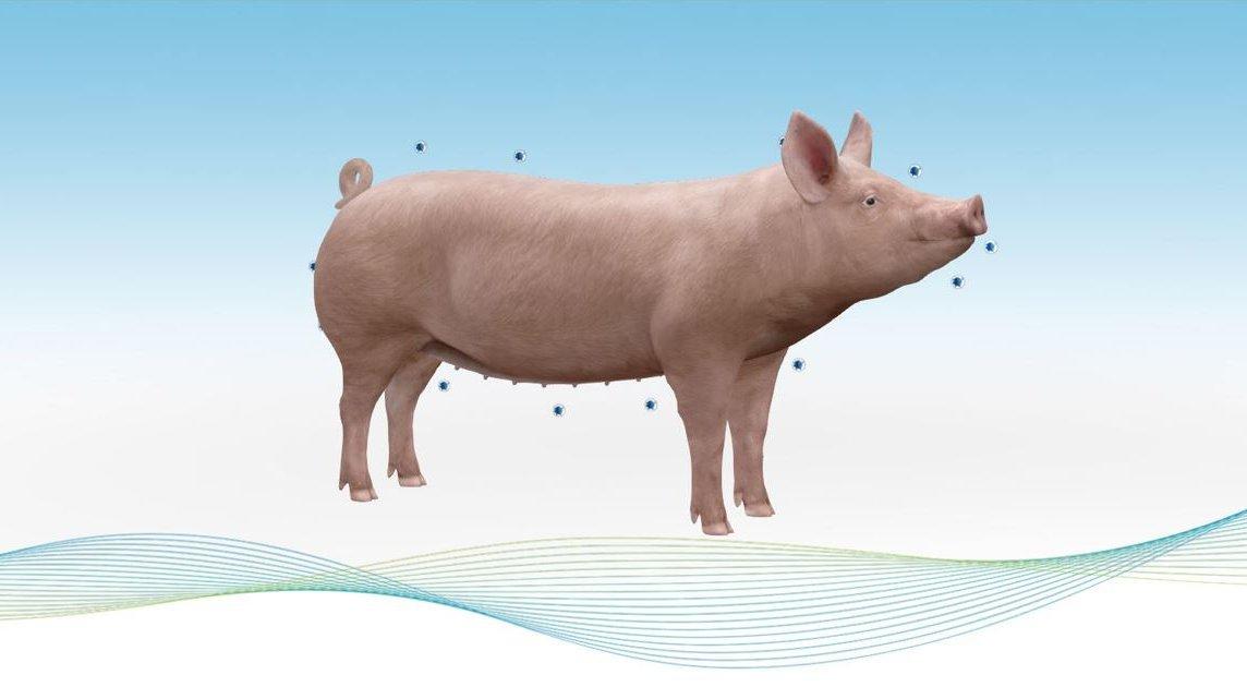 Hypor Libra Star 3D sow