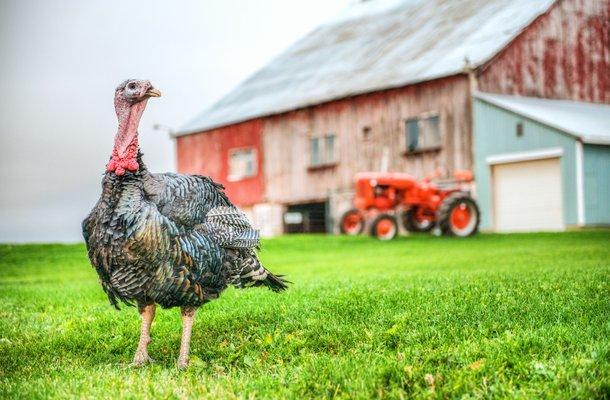 Bronze turkey low res.jpg