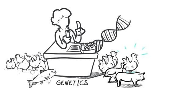 Hypor Drawing genetics
