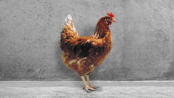 Hisex Brown cs chicken layers