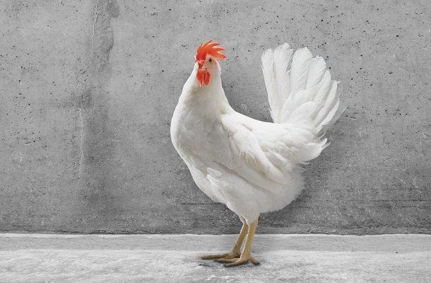 hisex white  CS chicken layers