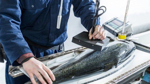 Salmon measurements