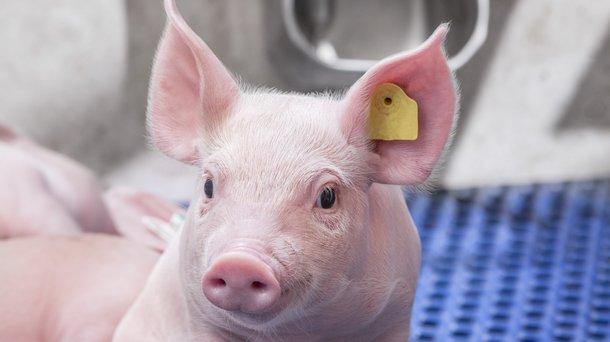 Swine1.jpg