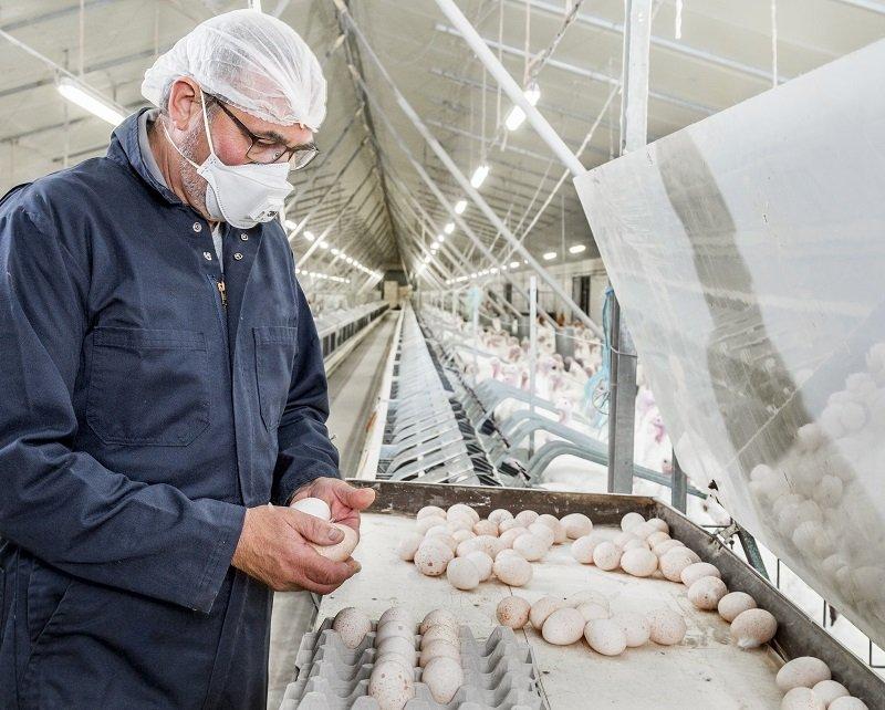 egg production turkey breeder