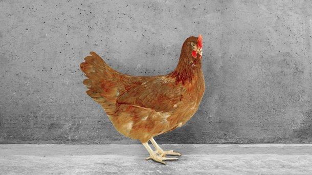babcock brown chicken cs layers