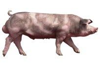 Hypor Boar Maxter Productpage