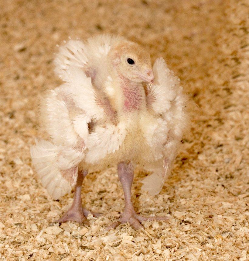 strutting poult